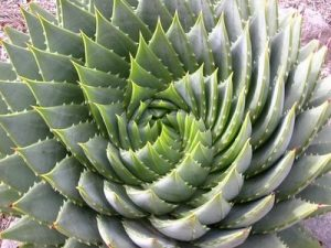 golden spiral plant pronounced wolafen_files_wordpress fibonacci_phyllotaxis